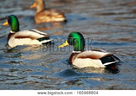 Portrait Of A Young Male Duck In The Water With The Rest Of
