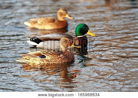 Beautiful Portrait Of A Mallard In The Water On The Background Of Ducks