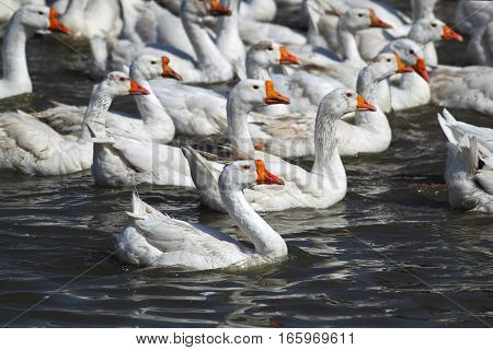 Many white geese swimming in the river