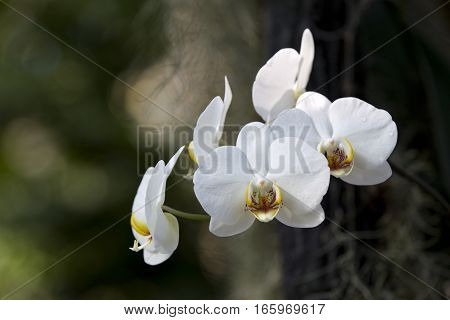Several white orchids with a blurred background.