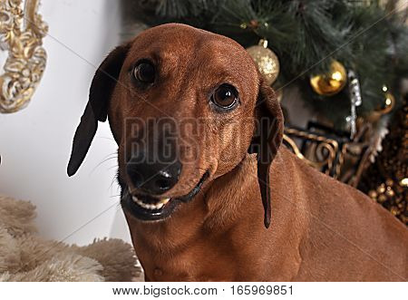 Cute puppy dog breed dachshund portrait smiling happily