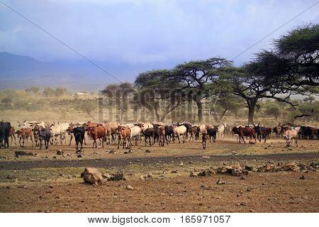 A Large Herd Of Cows In Kenya