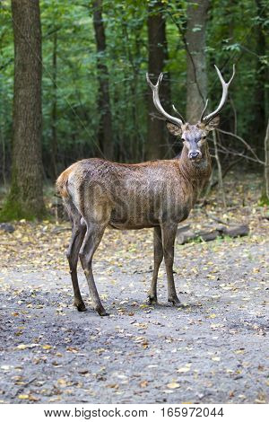 Beautiful portrait of a male deer in the woods with big horns in full growth