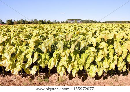 Beautiful Tobacco Field