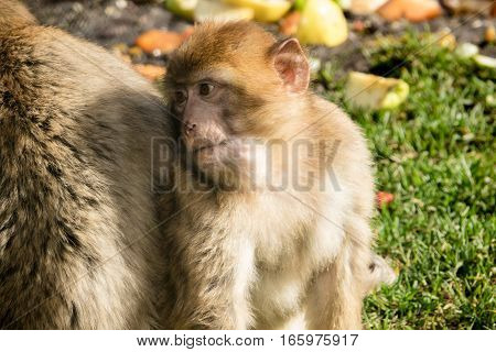 Barbary Macaque One Young Monkey Close up