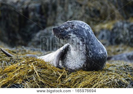 Fantastic profile of a harbor seal on a bed of seaweed in Dunvegan Scotland.