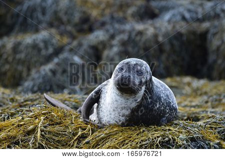 Harbour seal on a big bed of seaweed in Scotland.
