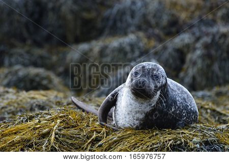 Seaweed bed for a harbor seal in Loch Dunvegan Scotland.