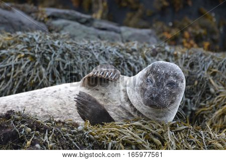 Harbor seal resting on a bed of seaweed and waving.