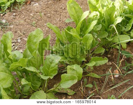 Pictures of organic and natural sugar beet