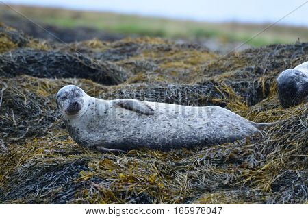 Harbor seal stretched out on a bed of seaweed.