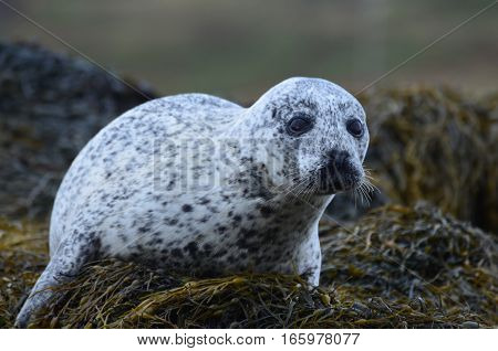 Harbor seal on a pile of seaweed.