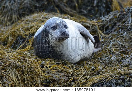 Fat harbor seal on a bunch of seaweed.
