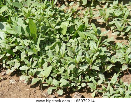 Pictures of organic and natural green thyme