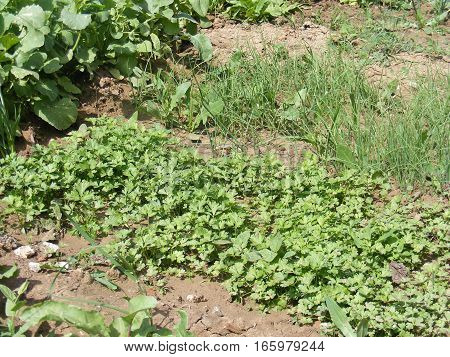 Pictures of organic and natural parsley in Hobby garden