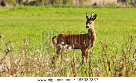 August sunset pasture, young roe deer warmer