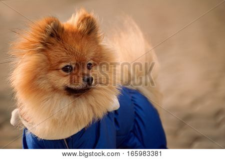 The mysterious , elegant , Fluffy pomerian spitz , dog , puppy in the blue dress , pullover , sweater is staying on sidewalk