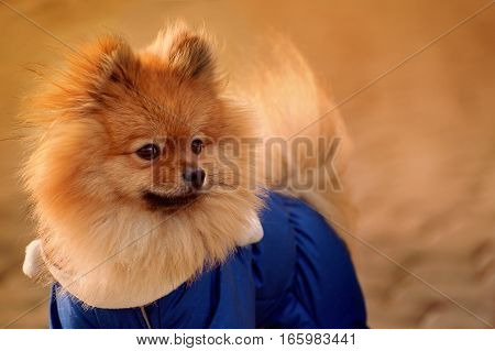 The mysterious , elegant , Fluffy pomerian spitz , dog , puppy in the blue dress ,pullover , sweater is staying on sidewalk in warm colours