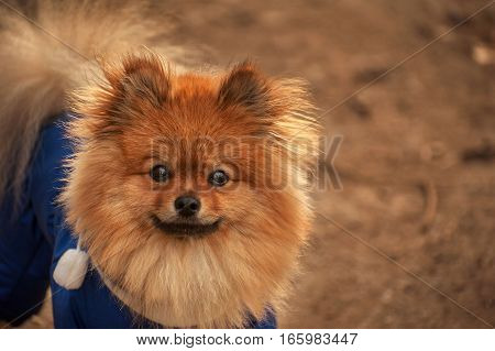 The Pensive, Fluffy , wisful pomerian spitz , dog , puppy in the blue dress ,pullover ,sweater is looking at you with wonderful eyes