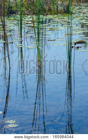 RIPPLED REFLECTIONS OF GRASSES IN THE WATER OF A POND