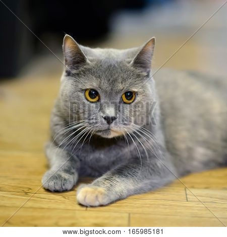 Eyes of the cat. Furry gentle creature kitten of a tortoise color. Portrait home pet cats.