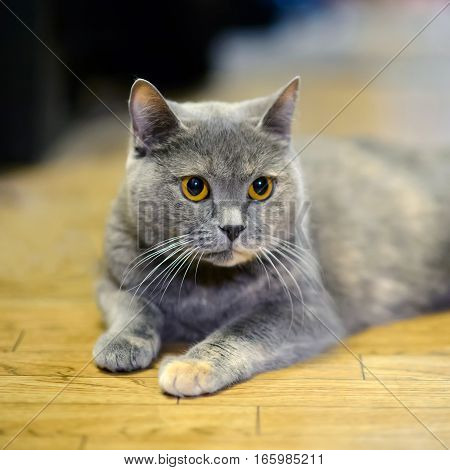 The yellow eyes of British cat. Furry gentle creature kitten of a tortoise color. Portrait home pet cats.
