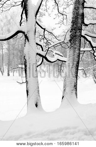 Silhouettes of two big trees on the hill. Their trunk and branches are covered with snow. Landscape.
