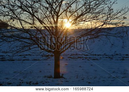 Chestnuts - tree (Quercoideae) at the sundown in winter with snow