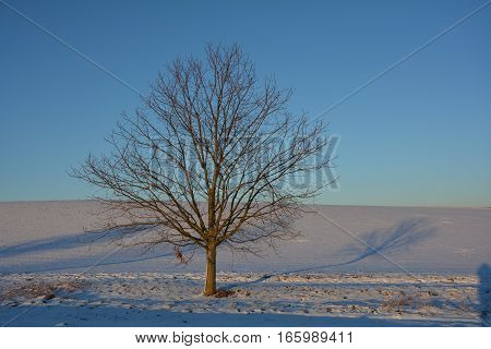 A tree in the evening light with snow and field field