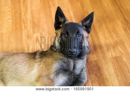 One male family pet Belgian Malinois puppy inside on hardwood floor.