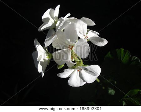 Bouquet of white geranium flowers on black background