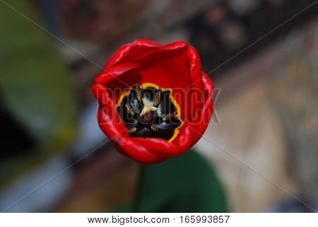 A red tulip and from the inside