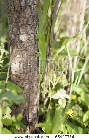 Green anole (Anolis carolinensis) scurrying down a small tree trunk
