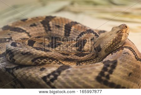 Close up of a canebrake rattlesnake (Crotalus horridus) in a coil poster