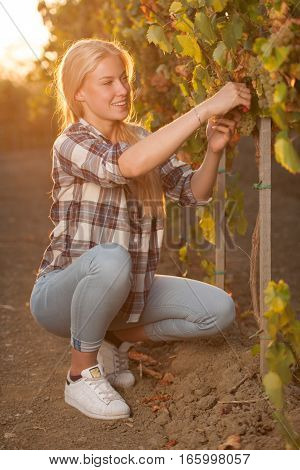 Woman Picking Grape During Wine Harvest In Vineyard On Late Autumn Afternoon