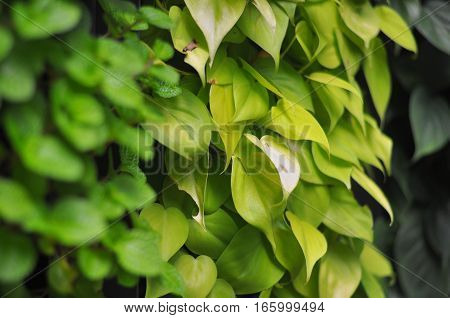 Close-up shot of a Green Wall. Light and and dark green leaves.