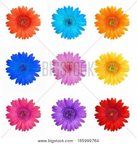 Different colors gerbera flowers collage isolated on white background.