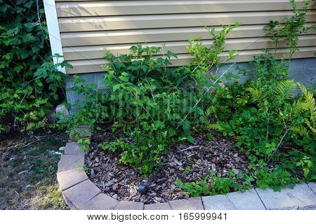 Black and purple raspberry plants (Rubus occidentalis), and blueberry bushes (Vaccinium corymbosum), in a garden in Harbor Springs, Michigan during August.