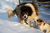 Adult Caucasian Shepherd dog and puppy in winter time. . Fluffy Caucasian shepherd dog and puppy poster