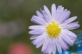 The daisy with a white background poster