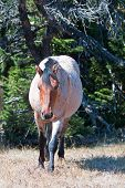 Red Roan Stallion wild horse walking out of the trees in the Pryor Mountain Wild Horse Range in Montana USA poster