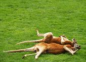 two red kangaroos sleeping on the grass poster