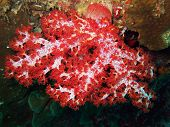 the scarlet soft coral. Similan islands park poster