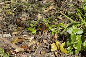 Red admiral (Vanessa atalanta) butterfly on the ground.