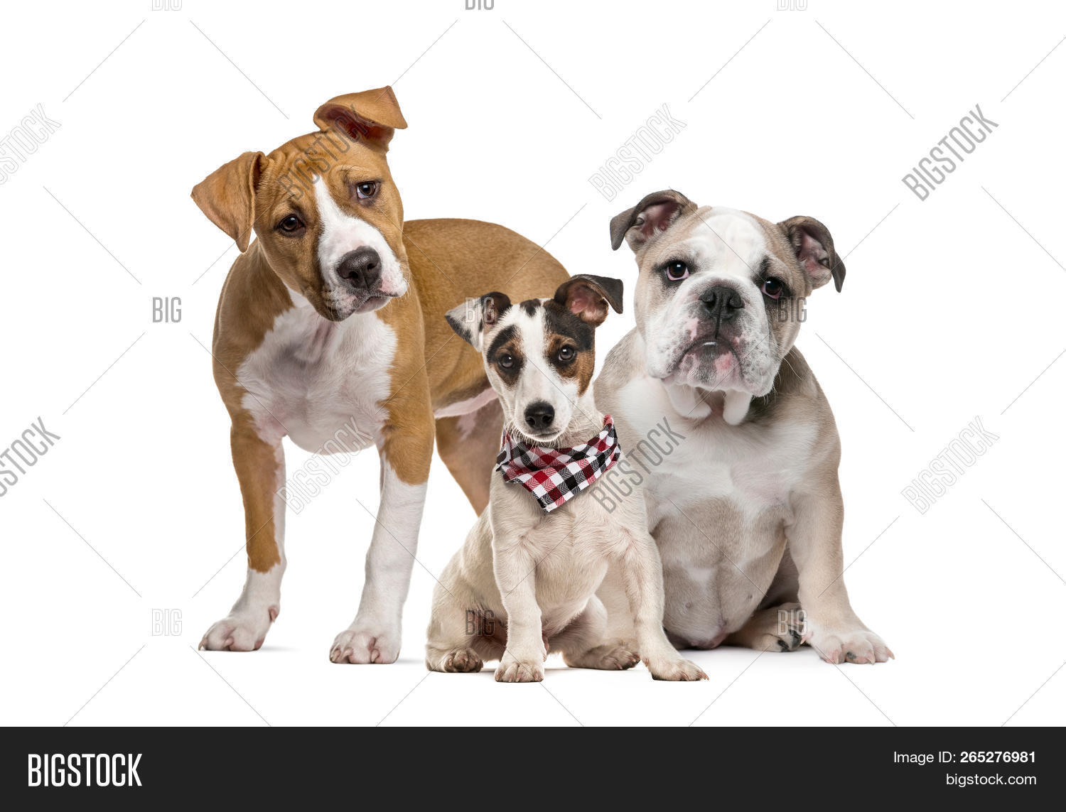 American Staffordshire Terrier puppy, English Bulldog puppy, Jack Russell Terrier puppy with checked scarf, in front of white background