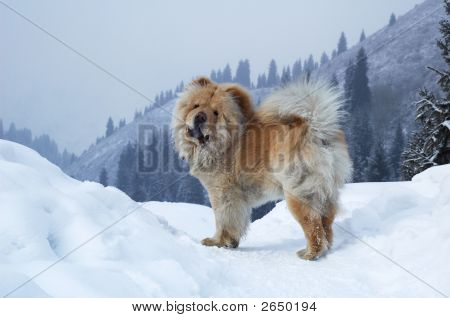 Chow-Chow Dog On Winter Mountain