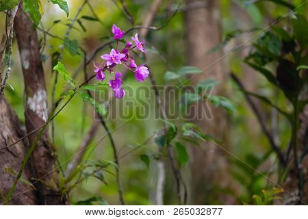 Wild pink orchid growing on the tree in the jungle of the Aru islands, Maluku, Indonesia