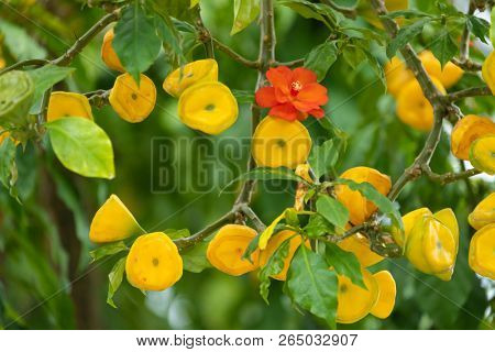 Flowers and fruits of a beautiful Pereskia Bleo tree in an Indonesian garden