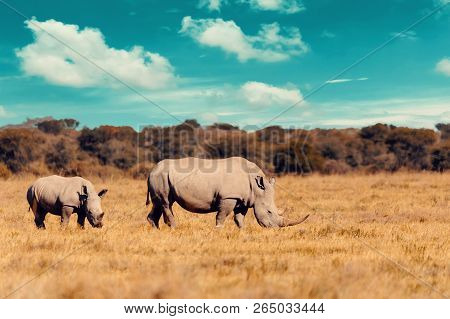 Rhino Family, Mother With Baby Of White Rhinoceros Khama Rhino Sanctuary Reservation, Botswana Safar