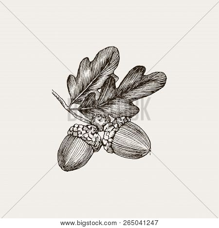 Engraving Oak Acorn Isolated On White Background. Detailed Vector Illustration Of Hand Drawn Autumn